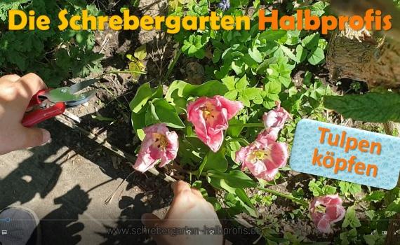 tulpen schneiden, tulpen beschneiden, verbkühte Tulpen, Tulpenblüten, schrebergarten, tutorial, garten, gärtner, kleingarten, gartenarbeit, gartentipps, gartenliebe, gaygarden, parzelle, Berlin, laubenliebe, garden, gardening, gaygarden, gaygardener, schrebergarten, schrebergartenliebe, pflanzen, gartenzeit, meingarten, Parzelle, gartenblog
